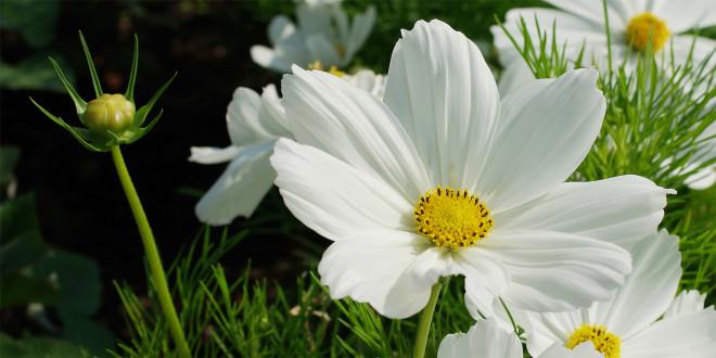 """Die Coverblume von """"Mit viel Feingefühl"""": Eine Kosmee"""