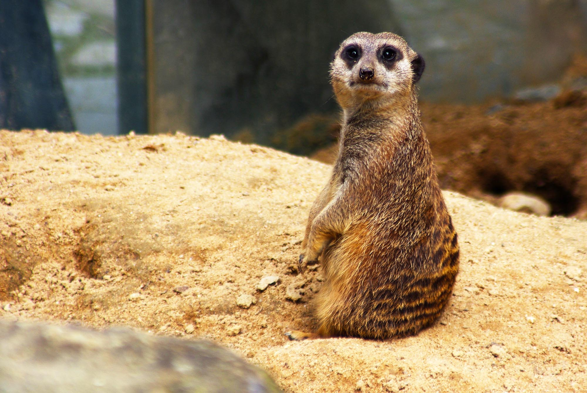 Search photos meerkat - Fotolia
